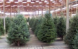 Come alberi di Natale gli abeti naturali sono superati da quelli di plastica