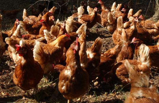Casi di influenza aviaria negli allevamenti di polli in Francia