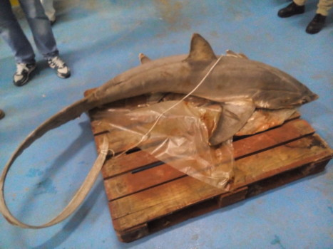 Durante i controlli è saltato fuori anche un piccolo squalo, di cui è vietata la pesca