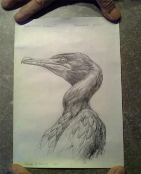 Il disegno del cormorano arrivato intatto