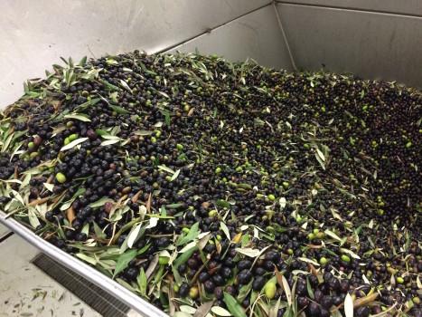 """Olive di provenienza greca da cui veniva prodotto olio """"toscano"""""""