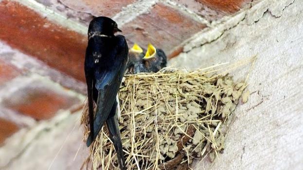 Una rondine può impiegare settimane a costruire il suo nido