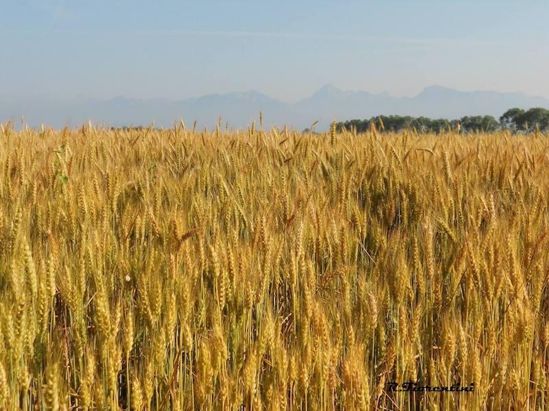 Giugno, trionfo del giallo nelle nostre campagne (Riccardo Fiorentini)