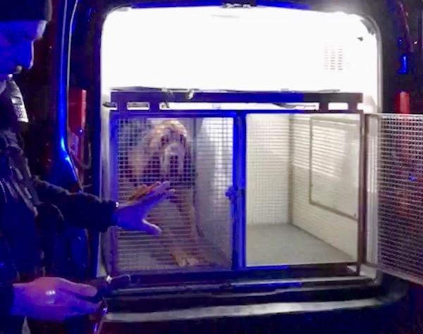Uno dei cani molecolari dei Carabinieri pronto a fiutare la pista degli evasi