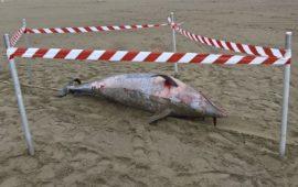 La carcassa del delfino spiaggiata davanti al Bagno Liù a Marina di Pietrasanta