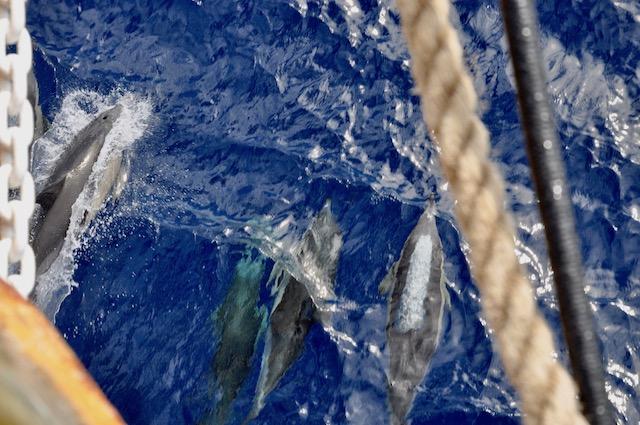 Un branco di delfini 'scorta' Nave Vespucci