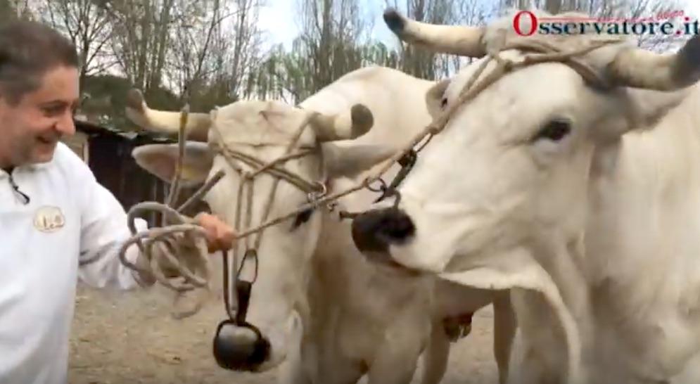 """A destra Bimbo il bove """"anziano"""" che tira il Brindellone allo scoppio del Carro a Firenze"""