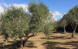Alberi di olivi nella campagna toscana
