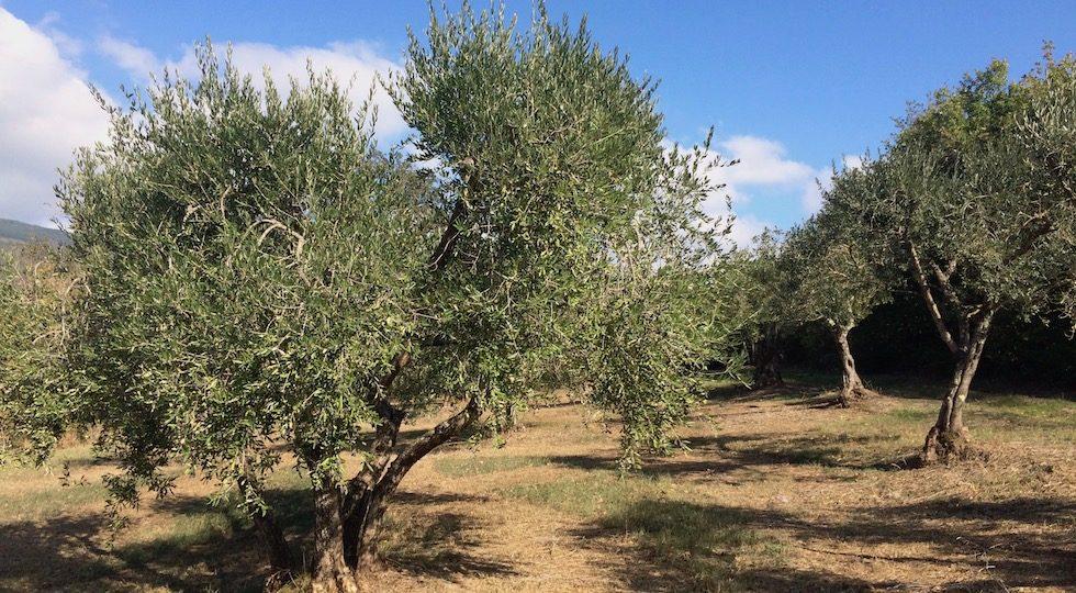 Sicurezza alimentare, l'olio d'oliva visto dai Carabinieri Forestali (Video)