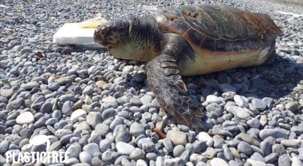 La triste immagine di una tartaruga marina  morta su un litorale (foto da Facebook Plasticfree)